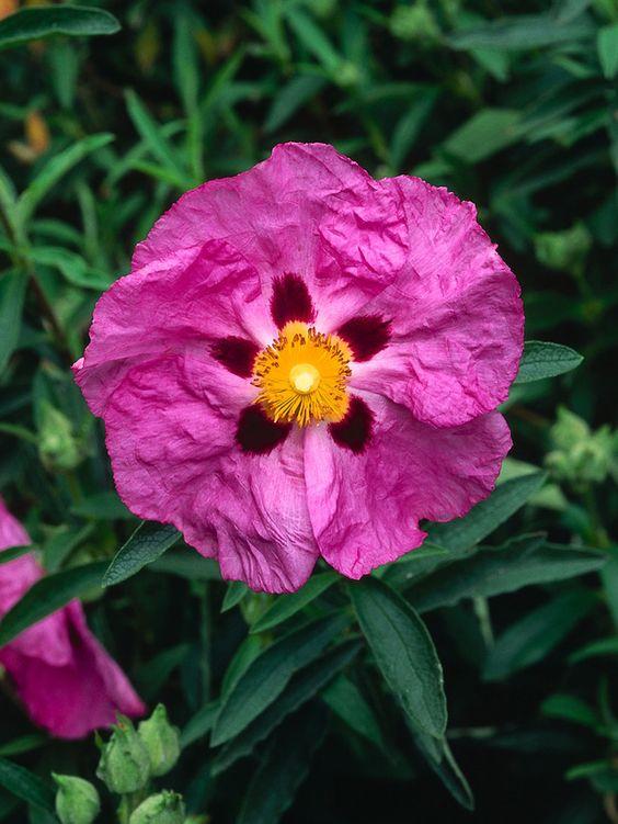 Hoa hồng đá